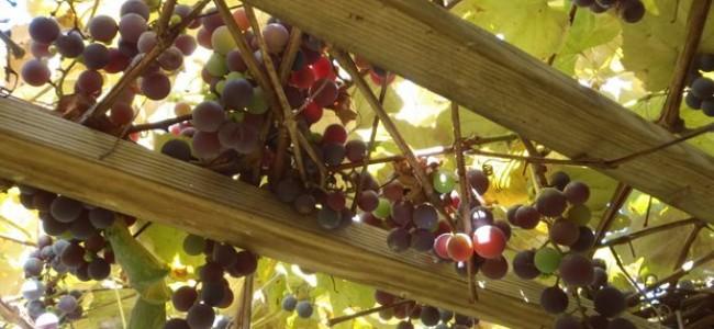 Vyno turizmas: populiariausi vynuogynai Vengrijoje