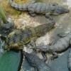 Atrakcija Malaizijoje esančioje Langkavio saloje – krokodilų ferma