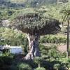 Tenerifės sala. Tūkstantį metų skaičiuojantis Drakono medis