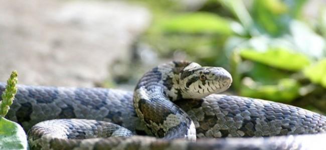 Tailandas. Geruda, įveikianti gyvatę