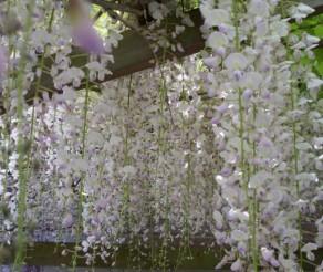 Ashikaga gėlių parkas Japonijoje – vieta, kurioje atsiskleidžia visterijų grožis