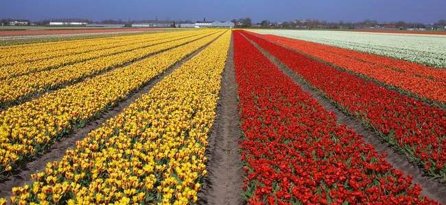 Gėlių paradas Olandijoje ir gražiausi Belgijos miestai tik 421 €