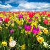 Gėlių paradas Olandijoje tik 298 €! Nereali kaina!!!