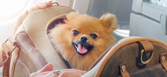 Kelionės lėktuvu su gyvūnais: patarimai, kaip pasiruošti skrydžiui