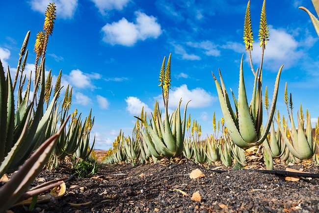 fuerteventuros-alaviju-plantacijos